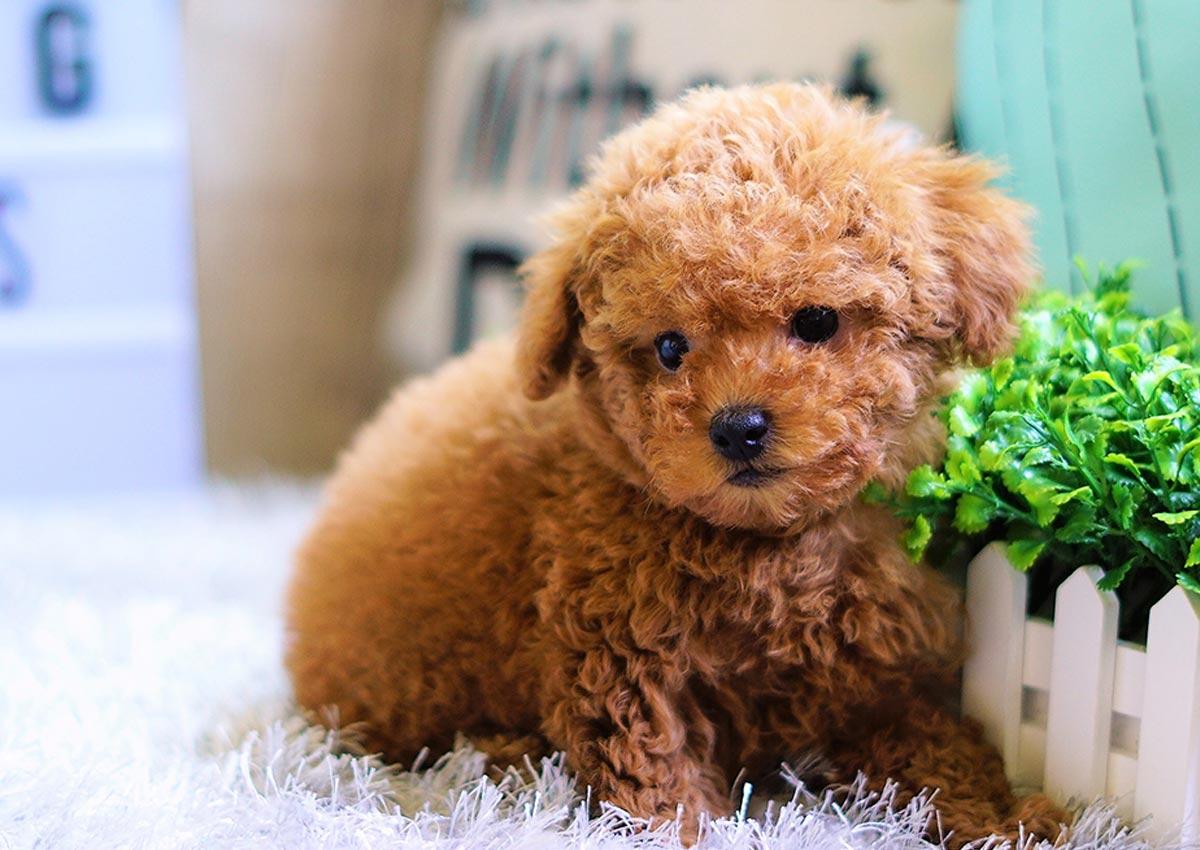 Huấn luyện chó Poodle